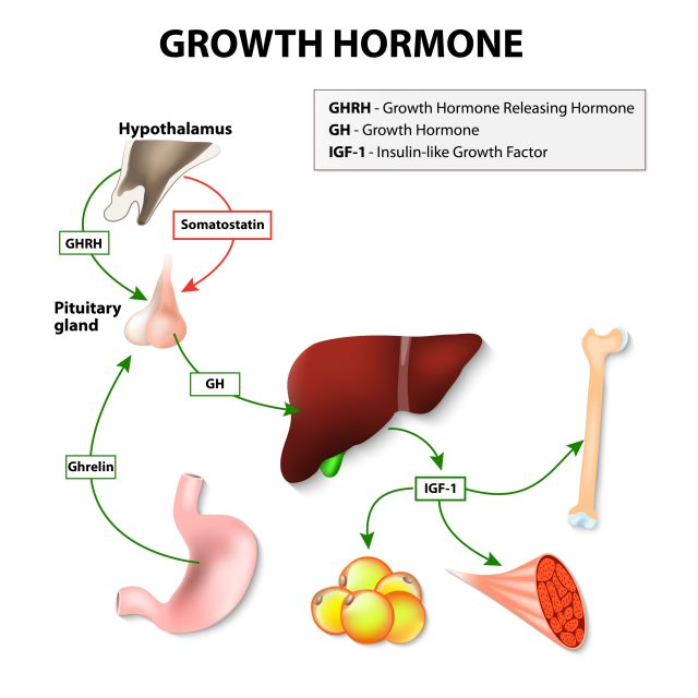 growth hormone hgh